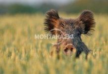 Откриват ловът на дива свиня и местен дребен дивеч