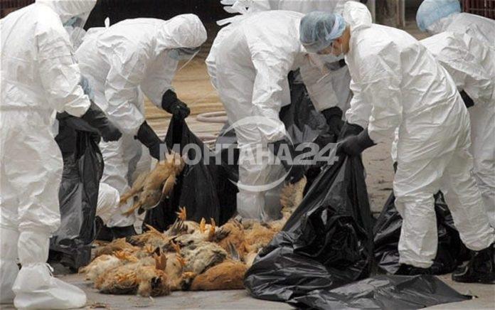 Oпасност от птичи грип в Монтанско