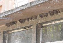 40 лястовичи гнезда на кметството в Мадан