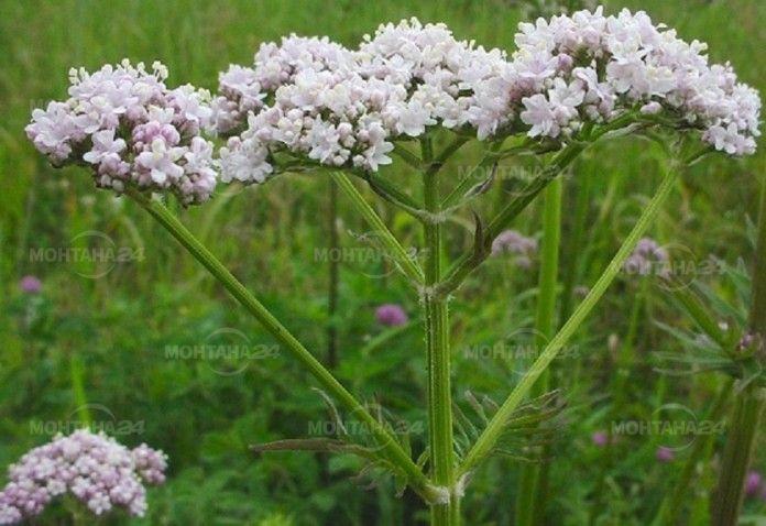 Валериана, бял риган и мечо грозде - сред забранените билки