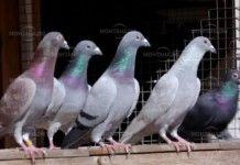 Заловиха крадец на породисти гълъби