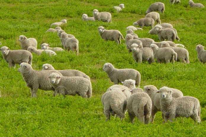 Започна изплащането на субсидиите на овцевъди и козевъди