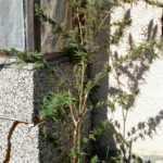 Откриха плантация от канабис в задържания за убийството на Гошко