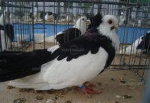 Съдът в Лом одобри наказание от осем месеца затвор за кражба на 20 гълъба