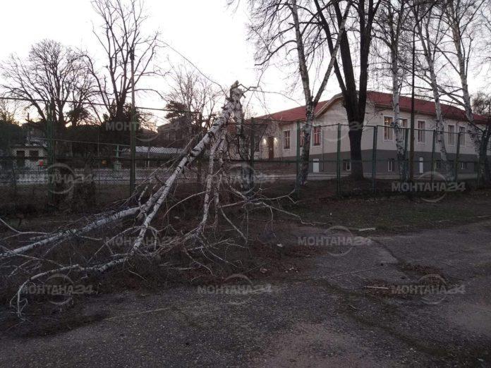 Паднало дърво заради силния вятър в Лом